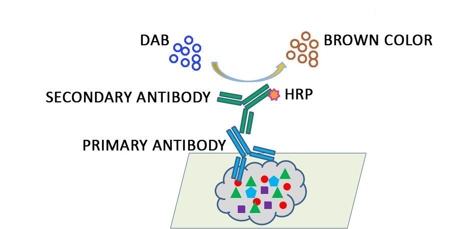 Figure 1. The amplification of the signal of an antigen-bound antibody by the enzymatic horseradish peroxidase (HRP) method.