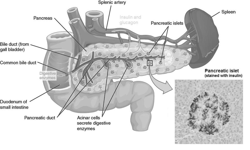 Figure 5. The anatomy of the pancreas, duodenum and the spleen. The pancreas secretes digestive enzymes to the duodenum and is right next to the spleen.