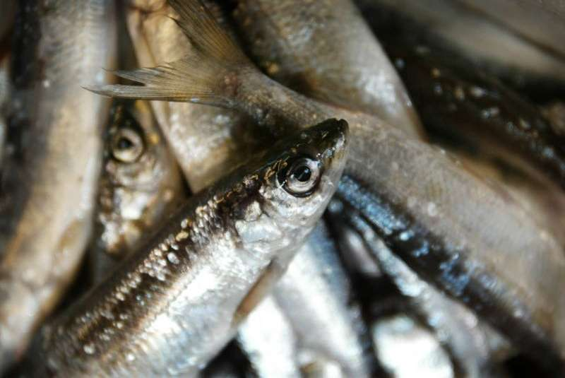 Liite 1 Finnish Vendace The Tastiest, Cleanest And Healthiest Freshwater Fish In The World From