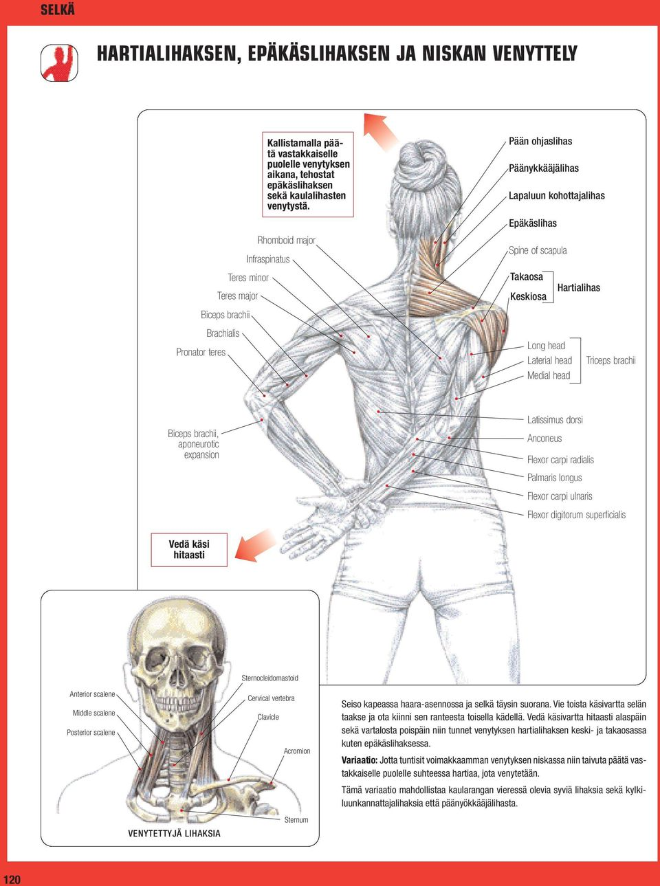 Pään ohjaslihas Päänykkääjälihas Lapaluun kohottajalihas Epäkäslihas Spine of scapula Takaosa Keskiosa Long head Laterial head Medial head Hartialihas Triceps brachii Biceps brachii, aponeurotic