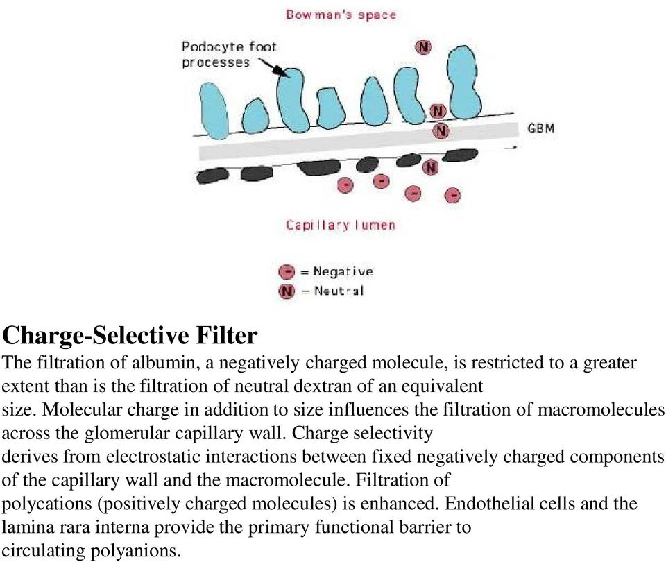 Charge selectivity derives from electrostatic interactions between fixed negatively charged components of the capillary wall and the macromolecule.