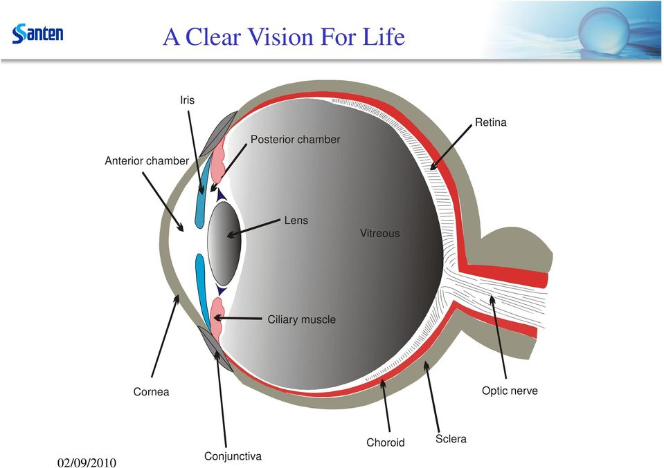 Vitreous Ciliary muscle Cornea Optic