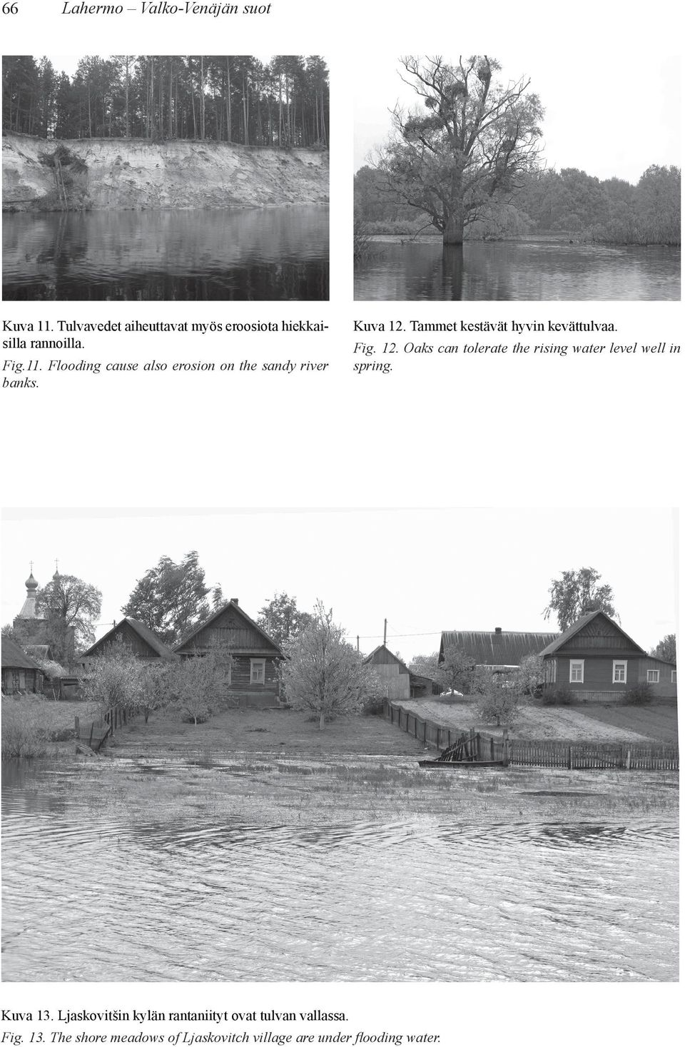 Tammet kestävät hyvin kevättulvaa. Fig. 12. Oaks can tolerate the rising water level well in spring.